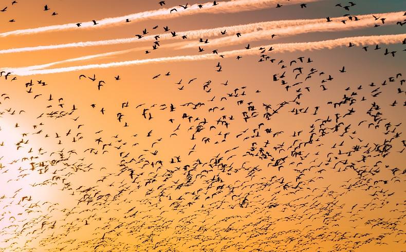 赤銅色の空に無数の鳥が羽ばたいている中、4本の飛行機雲