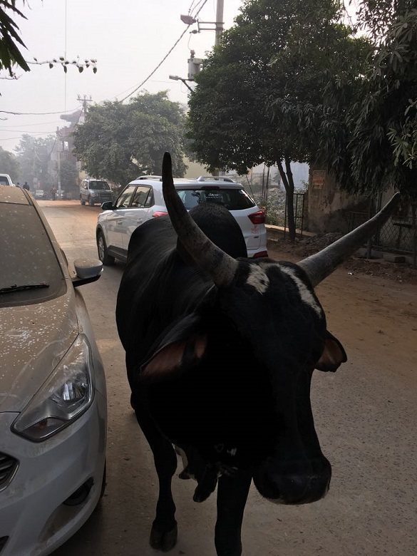 インドの街中を歩く立派な角の黒牛
