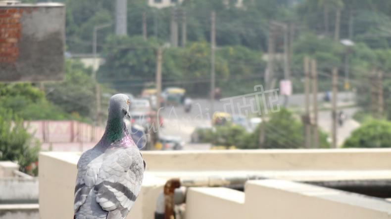 屋上に止まり風景を眺めているような鳩の姿