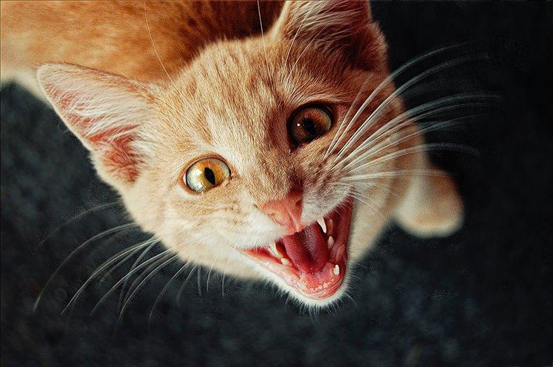 こちらを見上げて話し掛けるように口を開く茶トラ猫
